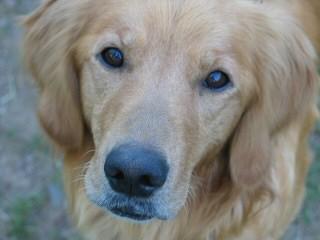 Maple Hill Goldens Golden Retreiver Puppies Grand Marais Minnesota